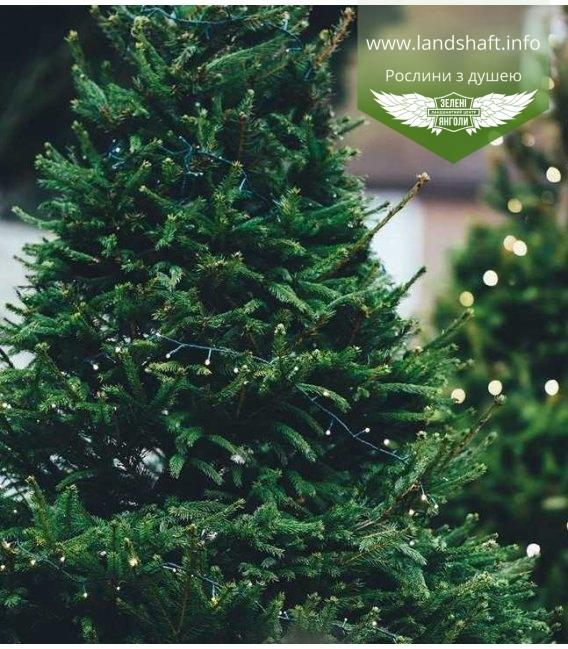 Ялина звичайна, новорічна ялинка в горщику - купити з розсадника