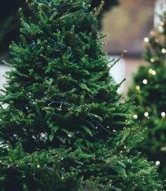 Ель обыкновенная - новогодняя елка в горшке, купить с питомника растений