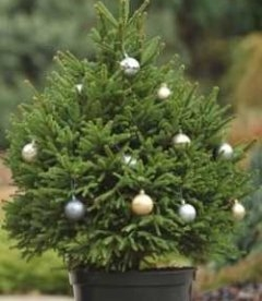 Ель обыкновенная - новогодняя елка в горшке с доставкой по Украине