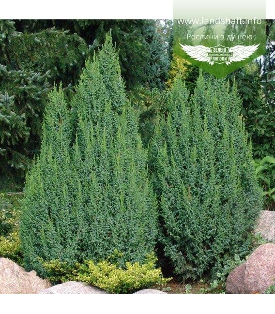 Juniperus squamata 'Loderi', Можжевельник чешуйчатый 'Лодери'