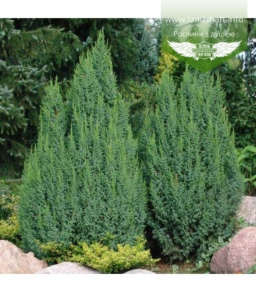 Juniperus squamata 'Loderi', Ялівець лускатий 'Лодері'