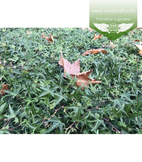 Вечнозеленый газон из плюща обыкновенного звездчатого Сагиттифолия
