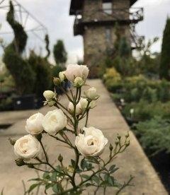 Цветущая роза бордюрная 'Fairy' в ноябре