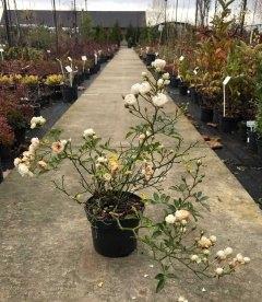 квітуча троянда бордюрна 'Фейрі' у листопаді