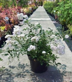 квітуча троянда бордюрна 'Фейрі' купити з розсадника з доставкою