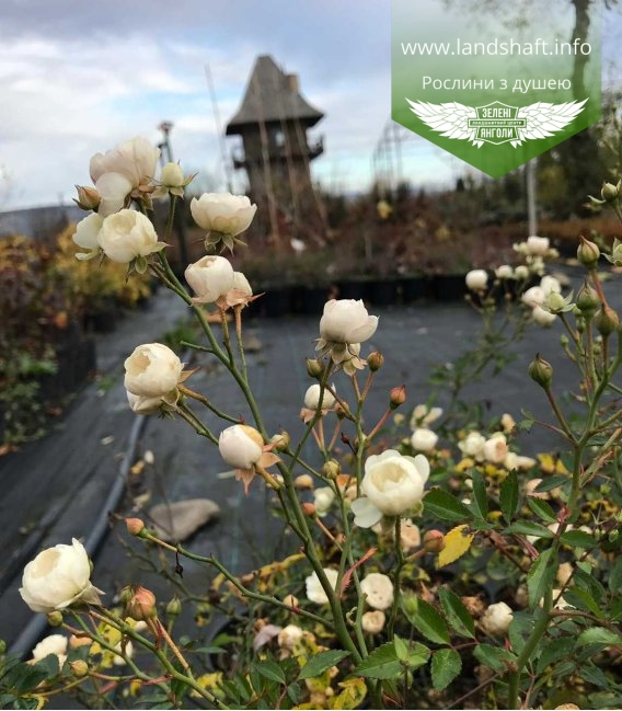квітуча троянда бордюрна 'Фейрі' у горщику 2 л, в роздріб і гуртом