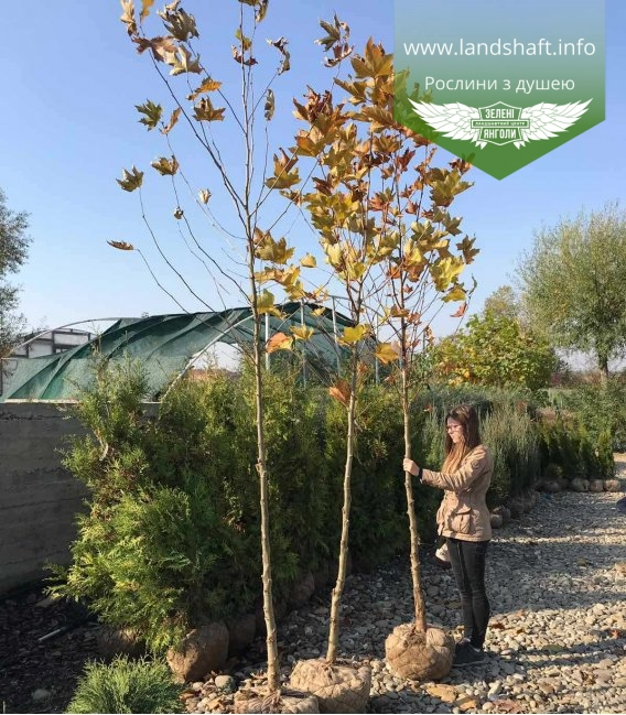 Platanus x acerifolia, Платан кленолистий купити в розсаднику