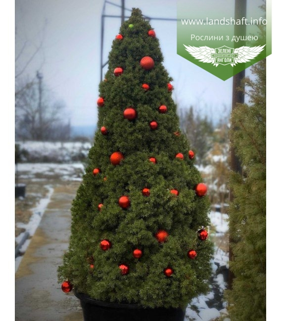 Жива новорічна ялинка у горщику купити з доставкою по Україні! ялина канадська 'Коніка'