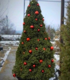 Живая новогодняя елка в горшке - купить с доставкой по Украине - Ель канадская Коника