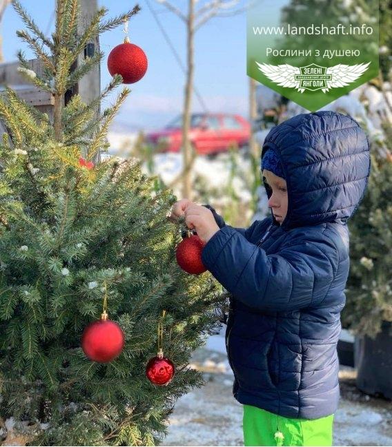 Жива новорічна ялинка у горщику купити з доставкою по Україні - Ялина сербська в с2