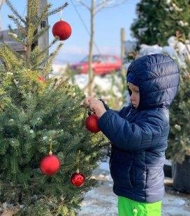 Живая новогодняя елка в горшке - купить с доставкой по Украине. Ель сербская