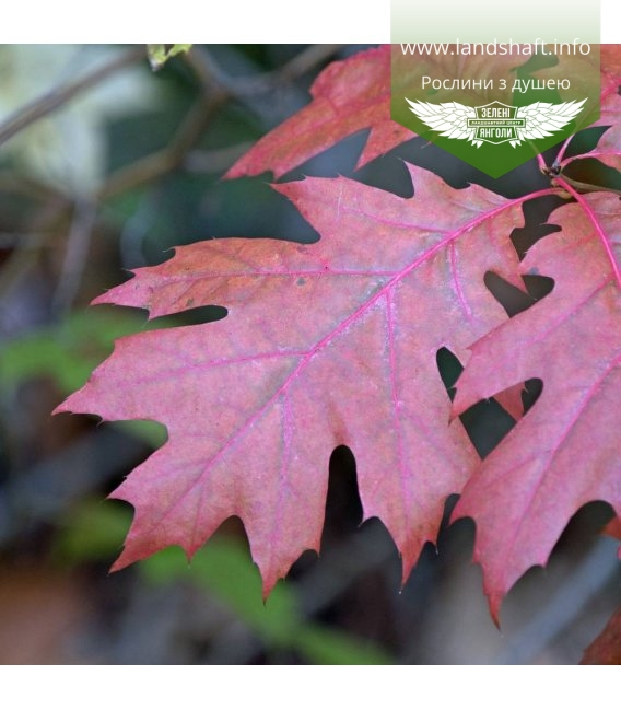 Quercus rubra, Дуб червоний