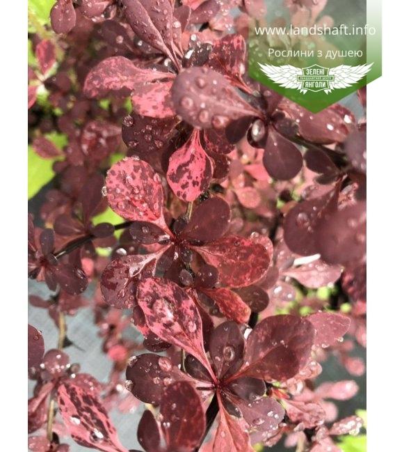 Барбарис Тунберга 'Арлекін, листя рослини влітку.