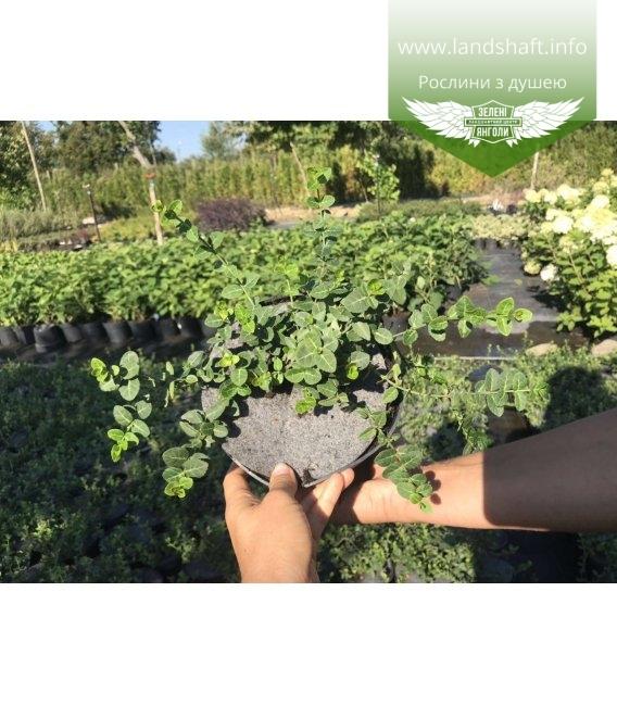 Бересклет 'Радиканс', саженцы для сада, огорода, ландшафтного дизайна.