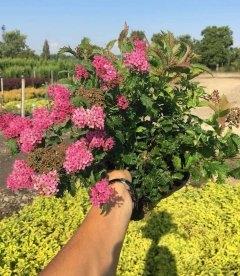 Спирея японская Криспа, посадка и уход красивоцветущих кустарников.