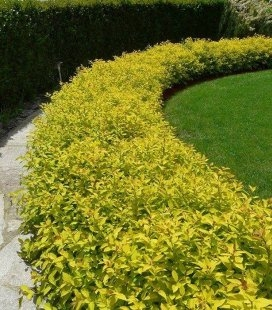 Spiraea japonica 'Goldmound' Спирея японская Голдмайнд посаженная в бордюр