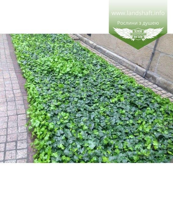 Плющ почвопокровный, замена газона для тенистого сада