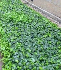 Плющ грунтопокривний, заміна газону для тінистого саду