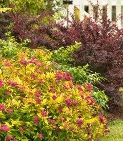 Спирея японская 'Голдфлейм' цветущий куст