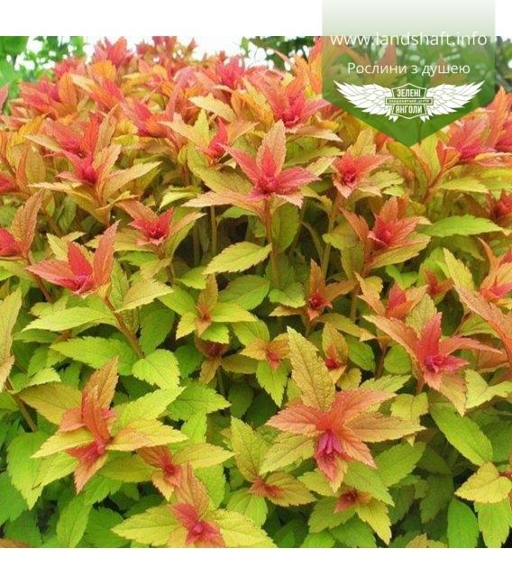 Спирея японская 'Голдфлейм' вид листьев
