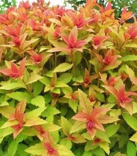 Спірея японська 'Голдфлейм' вигляд листя