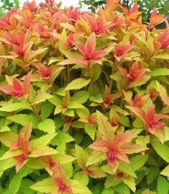 Spiraea japonica 'Goldflame', Спирея японская 'Голдфлейм'