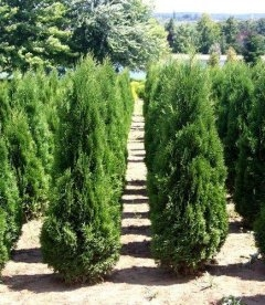 Thuja occidentalis 'Zakany Soveny' Туя западная Закани Шовени - с доставкой по Украине