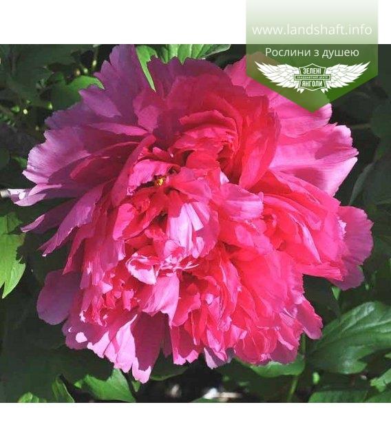 Paeonia suffruticosa 'Ceng Zhong Xiao/Smiling', Півонія деревовидна 'Ceng Zhong Xiao/Smiling'