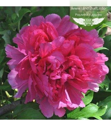 Paeonia suffruticosa 'Ceng Zhong Xiao/Smiling', Пион древовидный 'Ceng Zhong Xiao/Smiling'