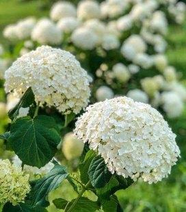 Hydrangea arborescens 'Annabelle', Гортензия древовидная 'Анабель'