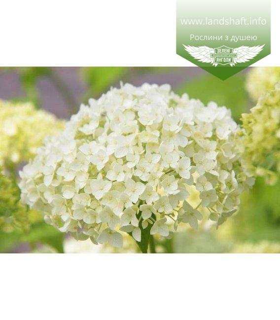 Hydrangea arborescens 'Annabelle', Гортензія деревовидна 'Анабель' квітучі бутони