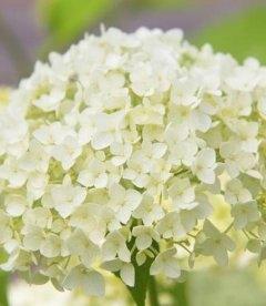 Hydrangea arborescens 'Annabelle' Гортензия метельчатая Анабель - цветущие бутоны