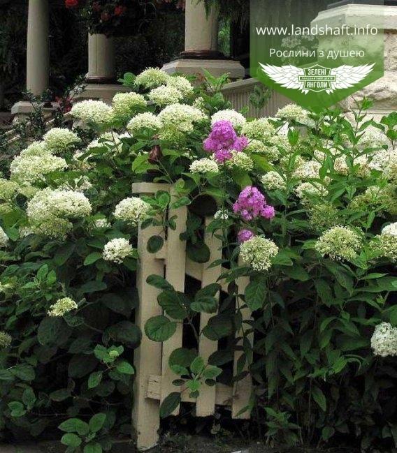 Hydrangea arborescens 'Annabelle', Гортензія деревовидна 'Анабель' в ландшафтному дизайні