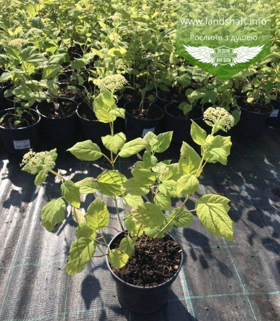Hydrangea arborescens 'Annabelle', Гортензія деревовидна 'Анабель' в горщику гуртом і в роздріб