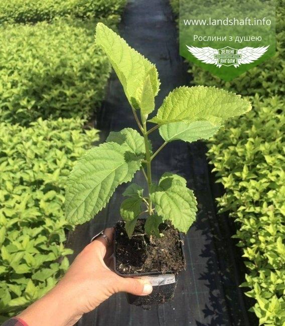 Hydrangea arborescens 'Annabelle', Гортензія деревовидна 'Анабель' в горщику p9 (для дорощування) гуртом і в роздріб