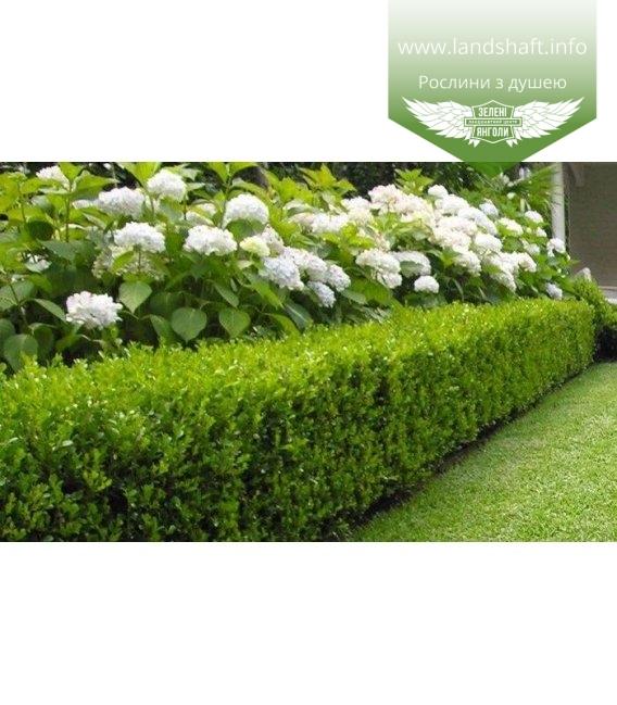 Hydrangea arborescens 'Annabelle', Гортензія деревовидна 'Анабель' купити саджанці з доставкою по Україні