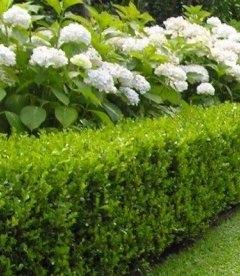 Hydrangea arborescens 'Annabelle' Гортензия деревовидная Анабель купить саженцы с доставкой по Украине