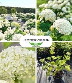 Hydrangea arborescens 'Annabelle' Гортензия древовидная Анабель купить в питомнике