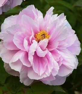 Paeonia suffruticosa 'Ru Hua Shin Yu/Like a Girl', Півонія деревовидна