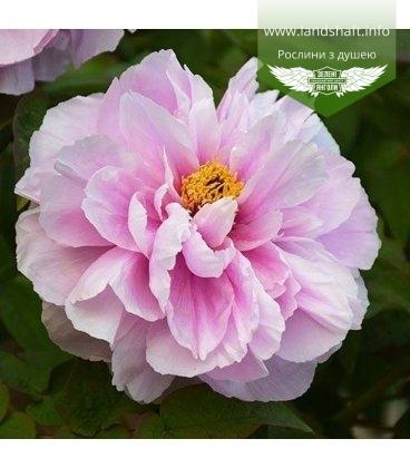 Paeonia suffruticosa 'Ru Hua Shin Yu/Like a Girl', Пион древовидный