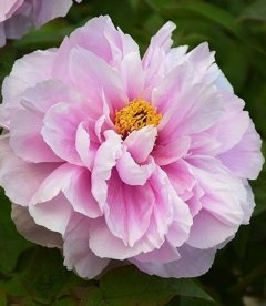 Paeonia suffruticosa 'Ru Hua Shin Yu/Like a Girl', Пион древовидный