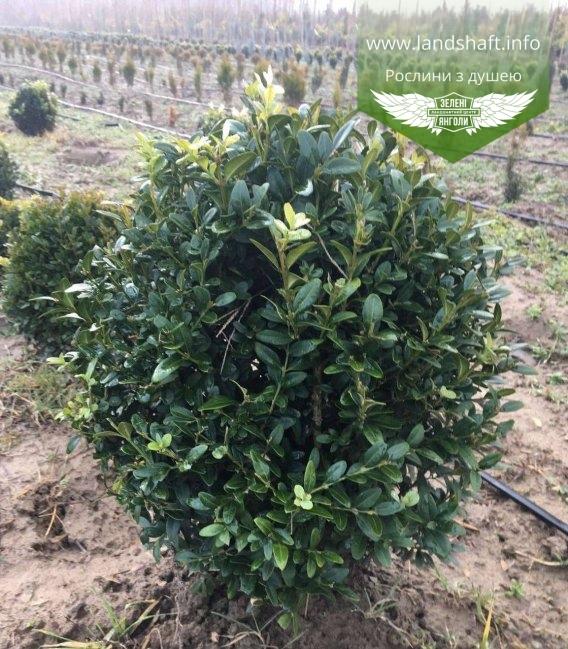 Buxus sempervirens, Самшит вічнозелений 20-30 см, 30-40 см, зимовий вигляд