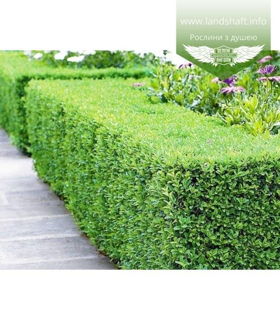 Buxus sempervirens, Самшит вічнозелений бордюр в ландшафтному дизайні