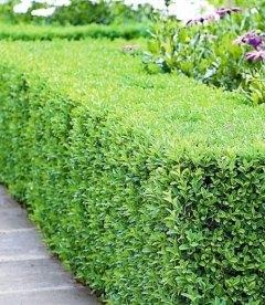 Buxus sempervirens Самшит вечнозеленый бордюр в ландшафтном дизайне