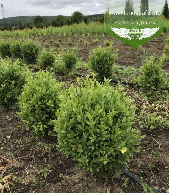 Buxus sempervirens, Самшит вічнозелений купити в розсаднику гуртом та в роздріб