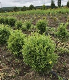 Buxus sempervirens Самшит вечнозеленый купить в питомнике оптом и в розницу