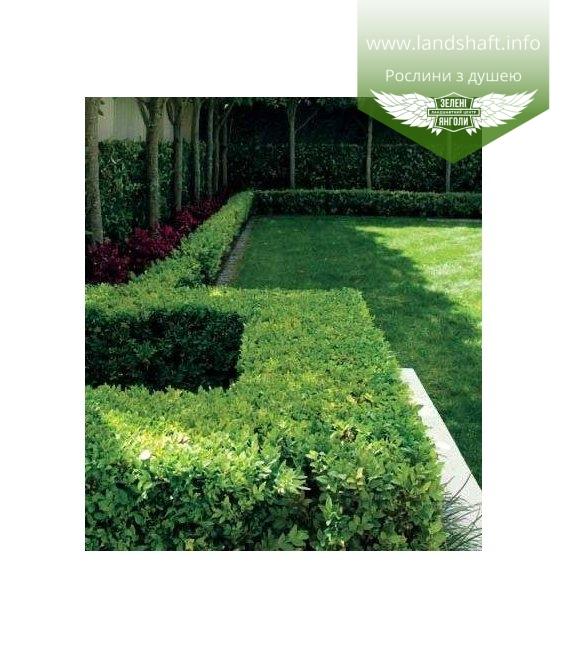 Buxus sempervirens, Самшит вічнозелений в ландшафтному дизайні