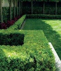 Buxus sempervirens Самшит вечнозеленый в ландшафтном дизайне