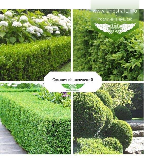 Buxus sempervirens, Самшит вічнозелений купити з доставкою по Україні