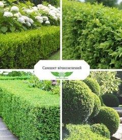 Buxus sempervirens Самшит вечнозеленый купить с доставкой по Украине